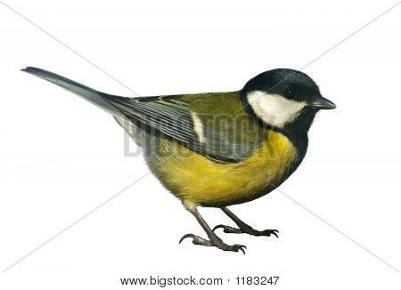 Titmouse Bird, Isolated On White