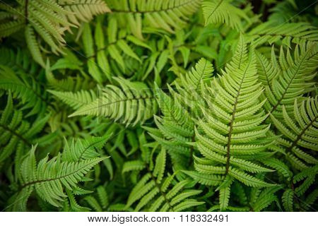 green fern as a background, close-up.
