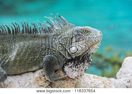 Iguana at Playa Lagun, Curacao
