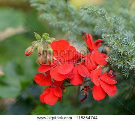 Red Pelargonium Flowers On Bright Green Background.