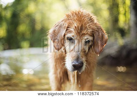 Golden retriever dog looking for rocks in the river