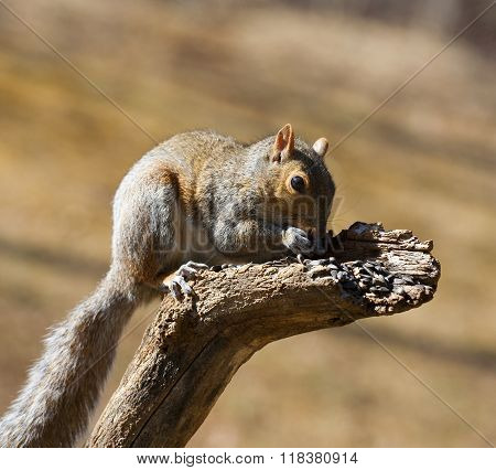 Eating Squirrel