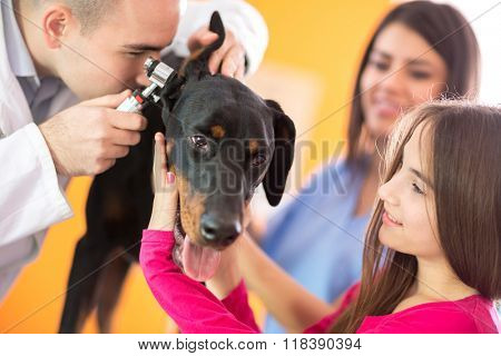 Hearing checkup of Great Done dog by veterinarians in vet infirmary