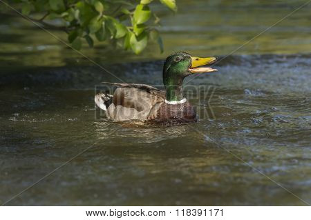 Mallard Male, Quacking On A Pond
