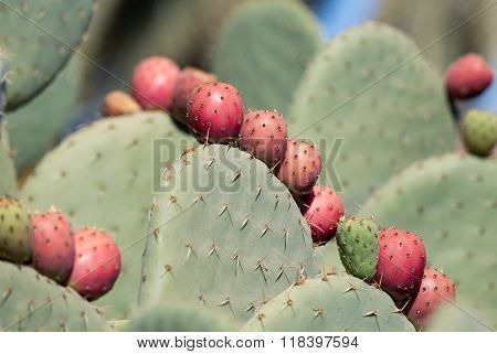 Opuntia ficus-indica is a species of cactus that has long been a domesticated crop plant important in agricultural economies throughout arid and semiarid parts of the world. poster