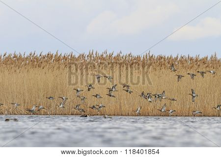flock of migratory teals and over the water