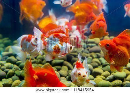 Goldfish in aquarium with green plants snag and stones