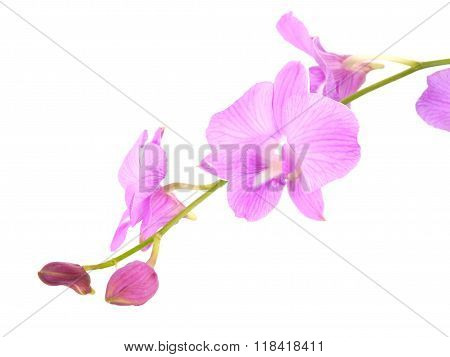 Striking Pink Orchid Flowers With Branch Isolated On White Background