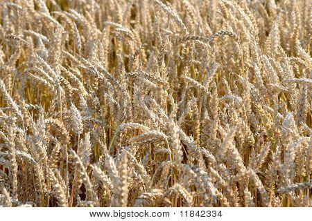 Yellow grain in a farm field