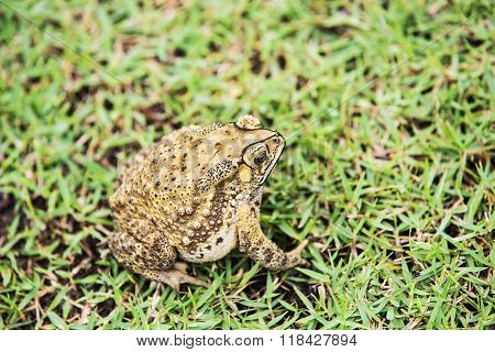 Portrait common Toad (Bufo bufo) on grass.