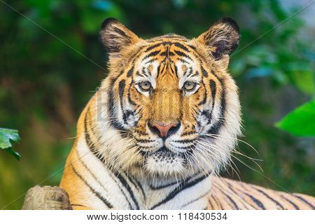 The Bengal tiger, also called the royal Bengal tiger (Panthera tigris tigris), is the most numerous tiger subspecies.