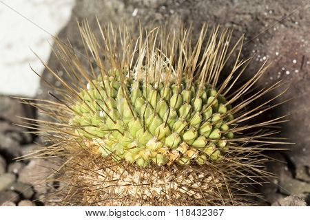 Detail Of A Spiked Cactus