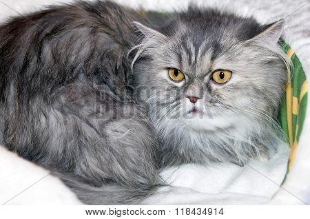 Cat Scottish long-haired