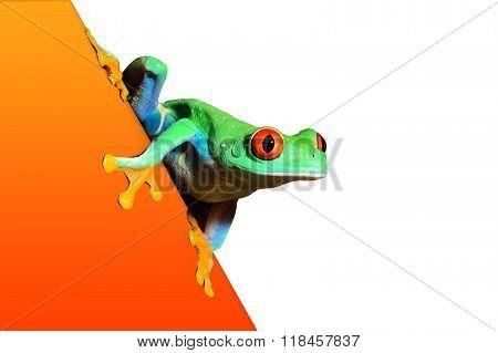red-eye tree frog Agalychnis callidryas on an orange surface