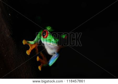 red-eye tree frog Agalychnis callidryas in the dark
