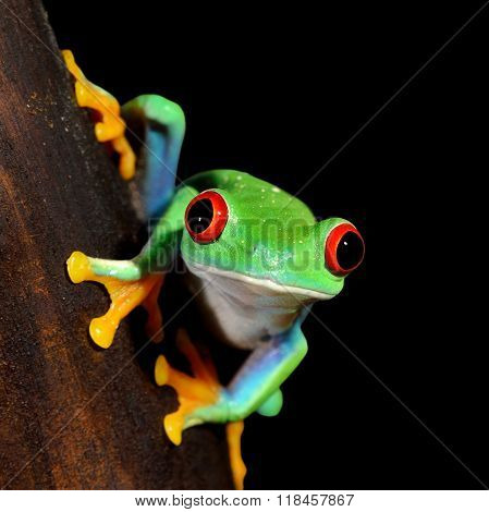 Red-eye tree frog Agalychnis callidryas over black background