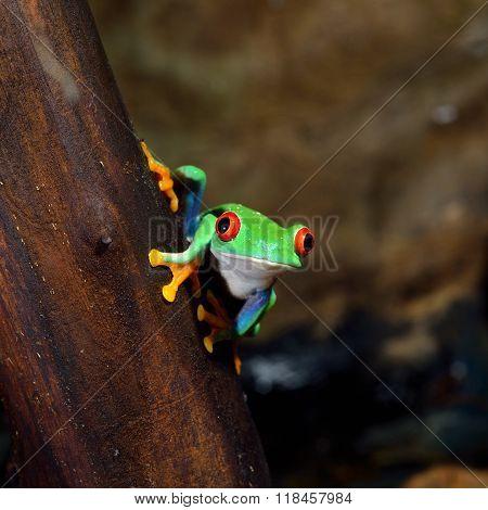 Red-eye tree frog Agalychnis callidryas on a stick in terrarium