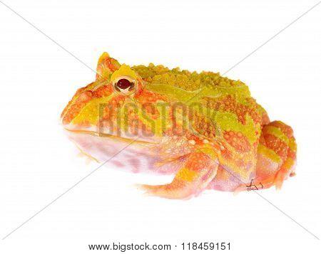 Ornate Horned Frog (white Form) Ceratophrys Ornata Isolated On White