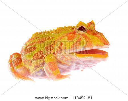 Ornate Horned Frog (white form) Ceratophrys ornata isolated on white poster