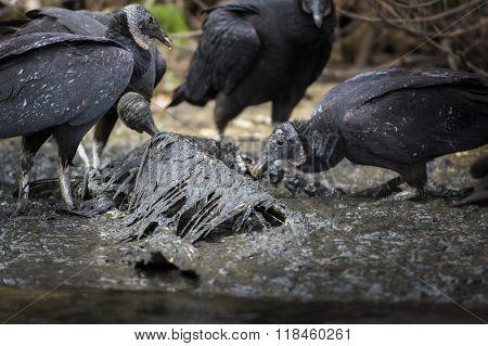 Vultures Feeding On Bird Carcass