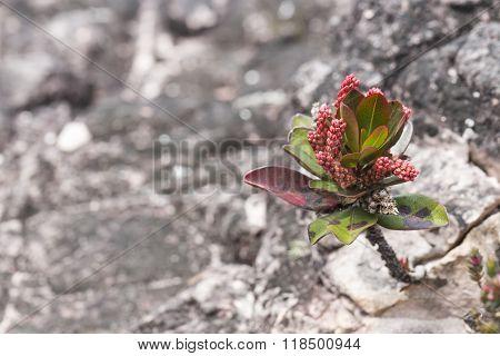 A Very Rare Endemic Plants On The Plateau Of Roraima - Venezuela