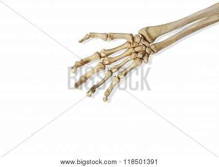 Skeleton Arm and Hand