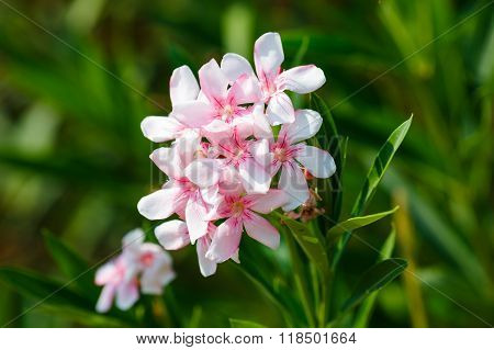 Oleander Pink Rose Flowers With Leaves.