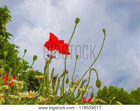 Papaver Flower