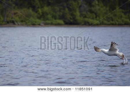 Gull Takeoff