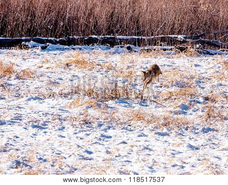 Coyote Hunting In Snowy Field