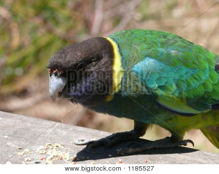 this is a port lincoln ringneck parrot poster