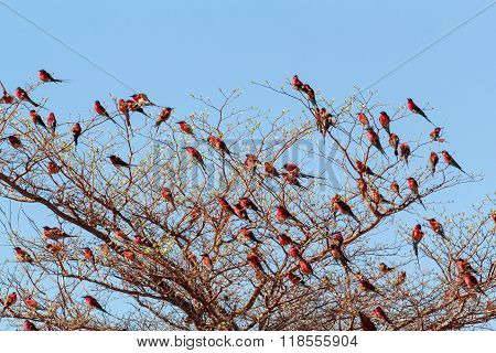 Large Nesting Colony Of Nothern Carmine Bee-eater