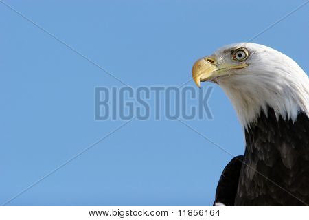 Bald eagle headshot with blue sky copyspace poster