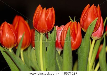 A Bunch of red tulips