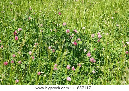 Clover Flowering On The Meadow