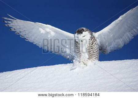 Snowy Owl With Open Wings