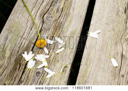 A flower daisy used as a fortuneteller to tell if he or she loves him or her