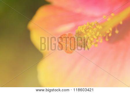 Stamen And Pistil Of China Rose Flower