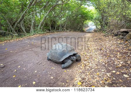 Galapagos Tortoises at the trees tunnel in Isabela island, Ecuador