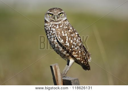 Burrowing Owl (Athene cunicularia) sitting on a wooden pole