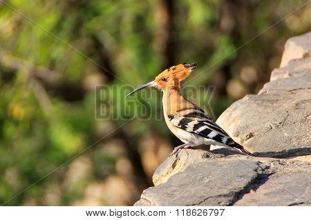 Common Hoopoe (upupa Epops) Sitting On A Stone Wall.