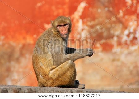 Rhesus Macaque Sitting On A Wall In Jaipur, Rajasthan, India