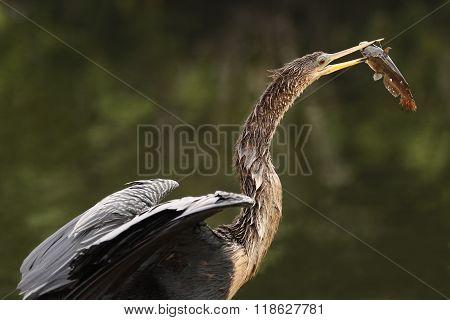 Anhinga (Anhinga anhinga) eating fish by the water