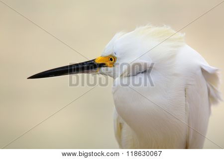 Portrait of Snowy egret (Egretta thula) against light background