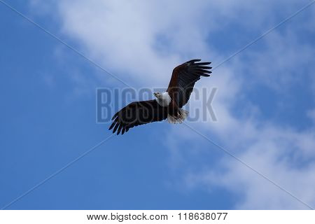 African Fish-eagle Soaring Up High
