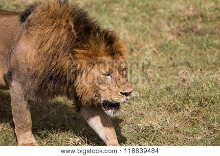 The Lion King Walking Across The Open Planes