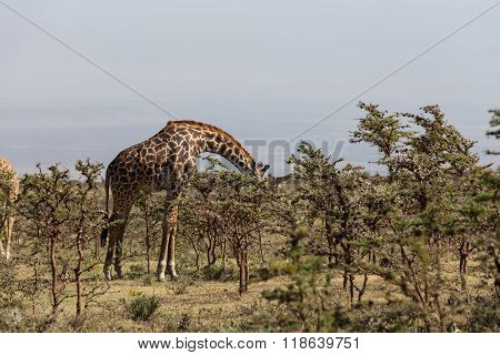A Rothschild's Giraffe Eating Leafs