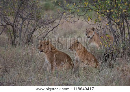 Two Young Lions And Their Mother On The Hunt