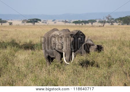 A Grown Up Male Elephant Protecting Its Herd