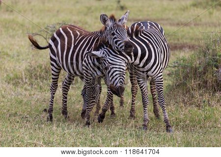 Two Young Zebras Playing
